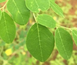 Global Moringa Leaves
